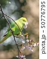 桜の花を食べる野生のワカケホンセイインコのメス  50776795