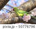 桜の花を食べる野生のワカケホンセイインコのメス  50776796
