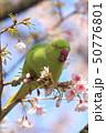 桜の花を食べる野生のワカケホンセイインコのメス  50776801