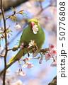 桜の花を食べる野生のワカケホンセイインコのメス  50776808