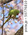 桜の花を食べる野生のワカケホンセイインコのメス  50776810