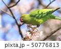 桜の花を食べる野生のワカケホンセイインコのメス  50776813