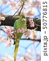 桜の花を食べる野生のワカケホンセイインコのメス  50776815