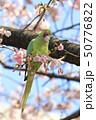 桜の花を食べる野生のワカケホンセイインコのメス  50776822
