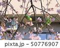 桜の花を食べる野生のワカケホンセイインコのメス 二羽 50776907