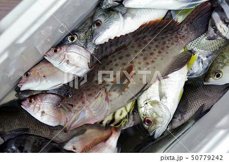 釣り釣果 チャイロマルハタ 50779242