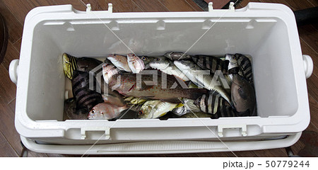 釣り釣果 チャイロマルハタ 50779244