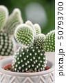 多肉植物 さぼてん サボテンの写真 50793700