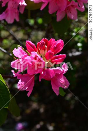 しゃくなげの花 50794975