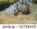 かわいいコツメカワウソのイメージ 50798449
