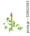 アスパラガス 野菜 雑草 水彩 50802063