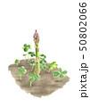 アスパラガス 野菜 雑草 土 水彩 50802066