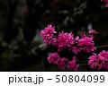花桃 50804099
