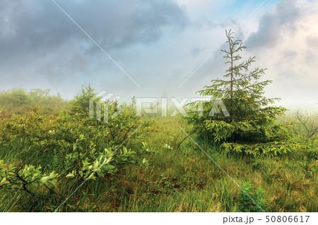 spruce tree on a meadow in fog 50806617