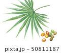 ノコギリヤシの葉と実 50811187