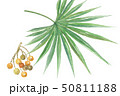 ノコギリヤシの葉と実 50811188