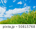 稲 稲穂 夏の写真 50815768