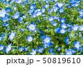 ネモフィラ 花 植物の写真 50819610