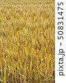 麦畑 麦 ムギの写真 50831475