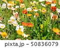 アイスランドポピー ポピー 花の写真 50836079