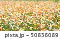アイスランドポピー ポピー 花の写真 50836089
