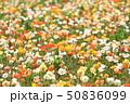 アイスランドポピー ポピー 花の写真 50836099