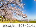 桜 長沼 桜並木の写真 50842141