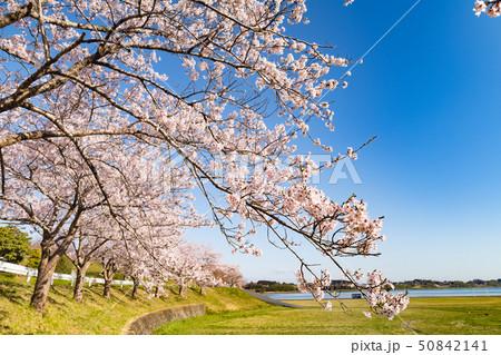 長沼フートピア公園の満開の桜並木 50842141
