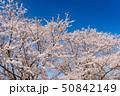 桜 春 花の写真 50842149