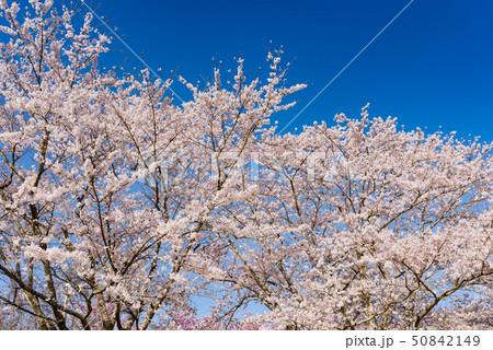 長沼フートピア公園の満開の桜並木 50842149