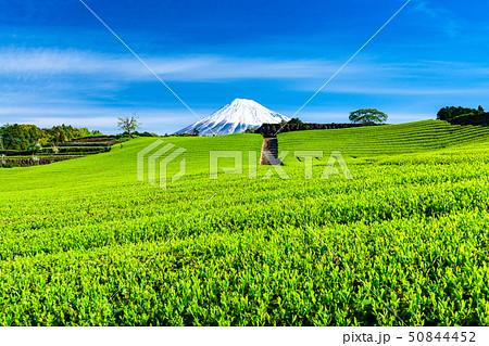 《静岡県》富士山と茶畑の風景 50844452
