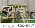 パンダ 50846417