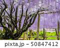藤 花 風景の写真 50847412