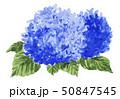紫陽花19519pix7 50847545