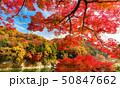 紅葉 樹木 秋の写真 50847662