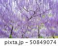 花 紫 藤の写真 50849074