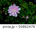 姫乙女(ミニバラ) 50862476