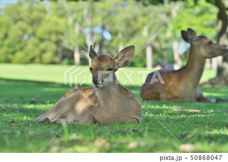 奈良公園の子鹿 50868047