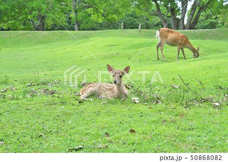 奈良公園の子鹿 50868082