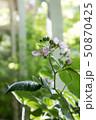 花 つぼみ 葉の写真 50870425