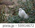 鳥 シラサギ サギの写真 50914672