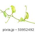 サルトリイバラ サンキライ 葉 水彩 50952492