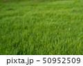 草 緑 芝の写真 50952509