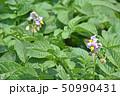 ジャガイモ 花 野菜の写真 50990431