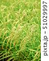 稲 稲穂 夏の写真 51029997