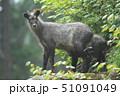 ニホンカモシカ カモシカ 動物の写真 51091049