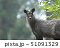 ニホンカモシカ カモシカ 動物の写真 51091329