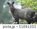 ニホンカモシカ カモシカ 動物の写真 51091333