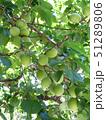 梅の木と青梅 51289806