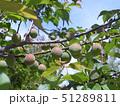 梅の木と青梅 51289811